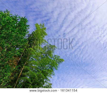 Green Bamboo Under The Bluesky