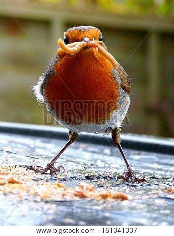 Robin bird with meal worms in beak