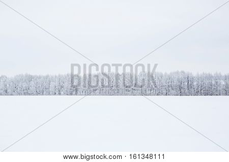 Birch Branches Covered With Hoarfrost