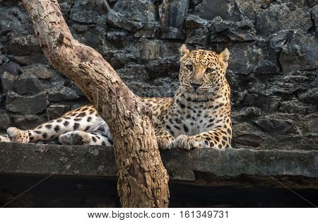Male leopard resting in his confinement at an Indian zoo.