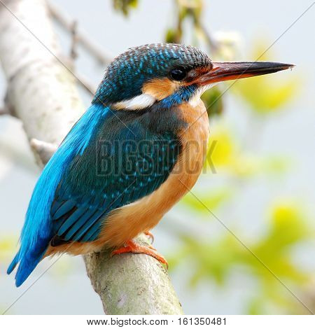 Common European Kingfisher (Alcedo atthis) perched on a stick above the river and hunting for fish. This sparrow-sized bird has the typical short-tailed, large-headed kingfisher profile.