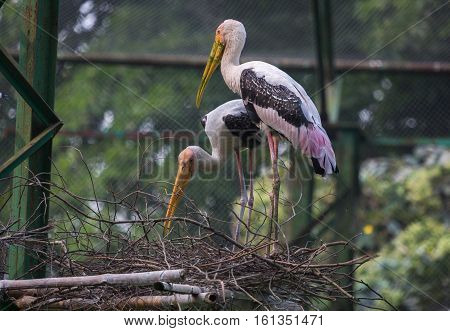 Yellow billed storks also known as the painted stork birds preparing their nest at the Kolkata zoo.