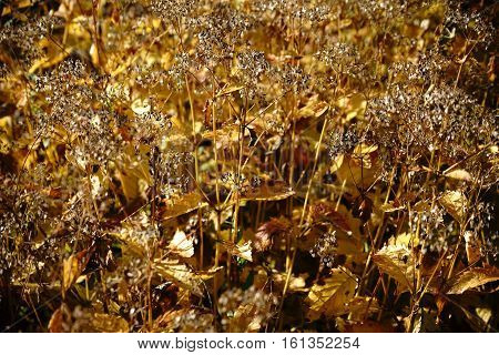 The close up of dried valerian plants in autumn.