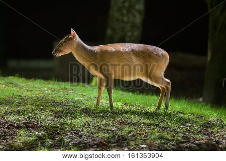 Chinese muntjac (Muntiacus reevesi), also known as the Reeves's muntjac.