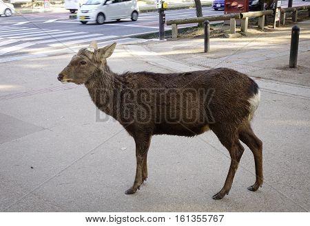 Deer Standing On Street