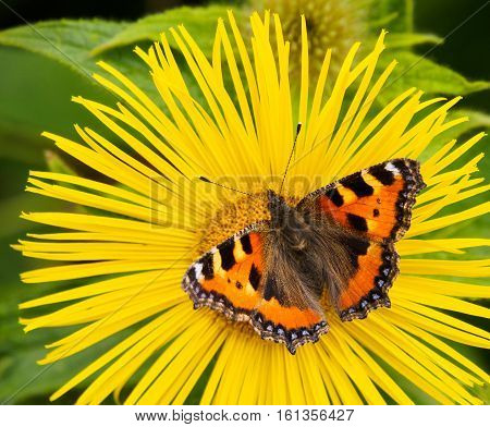 The small tortoiseshell is a medium-sized butterfly that is mainly reddish-orange in colour with black and yellow markings on the forewings as well as a ring of blue spots around the edge of the wings. It has a wingspan ranging from 4.5-6.2 cm. The small