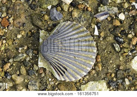 Scallop shell flecked with sand lying on rocky beach