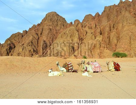 Camels in the Egyptian desert. Camels on the background of mountains. The camels and dogs.