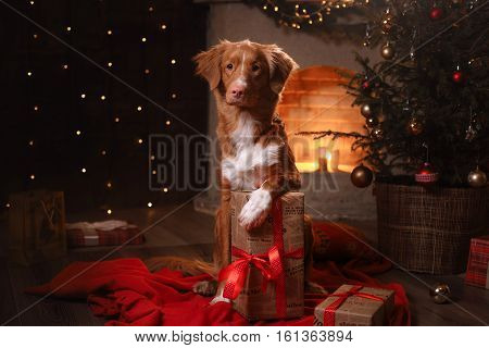 Dog Nova Scotia Duck Tolling Retriever . Happy New Year, Christmas, Pet In The Room