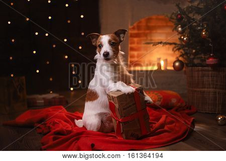 Dog Jack Russell Terrier. Happy New Year, Christmas, Pet In The Room