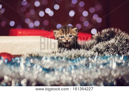Mewing cute scottish grey cat sitting on a gift box and looking at the camera with bokeh background of Christmas lights New Year concept copy space at the left