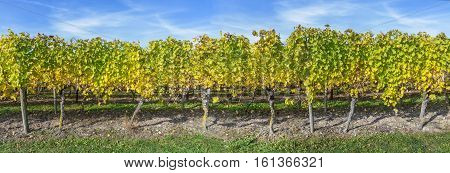 Row of vine stocks in autumn as a panorama