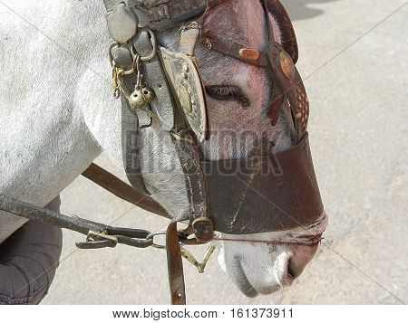 arabians donkey damaged by painfull tortured halter