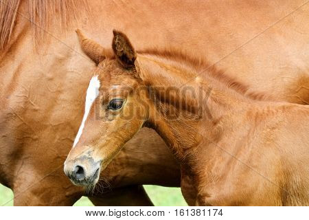Thoroughbred few weeks old foal against her mother closeup