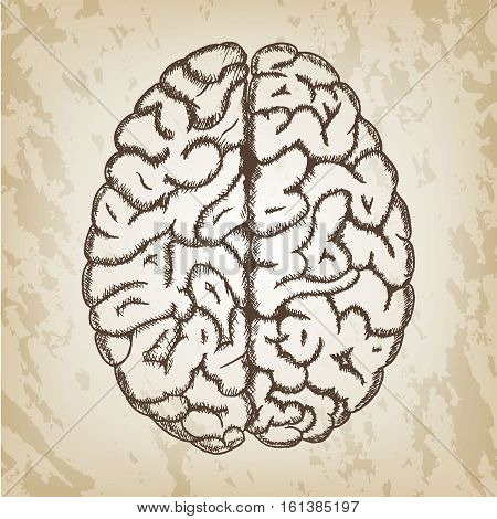 Hand drawn vector illustration - Human brain sketch with top view both hemispheres of cerebral cortex. Brown paper background.