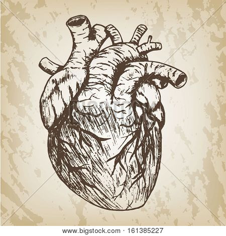 Hand drawn vector illustration - naturalistic human heart sketch. Brown paper grunge background.