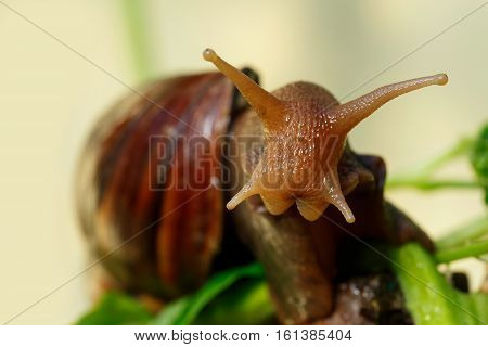 the head of a big Achatina snail