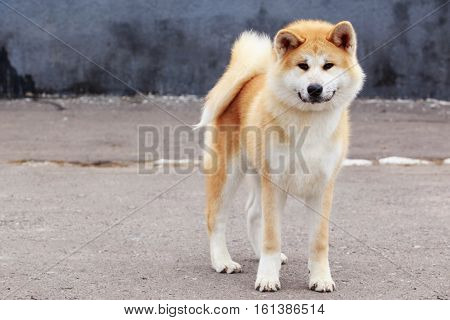 dog breed Akita Inu is walking on open air