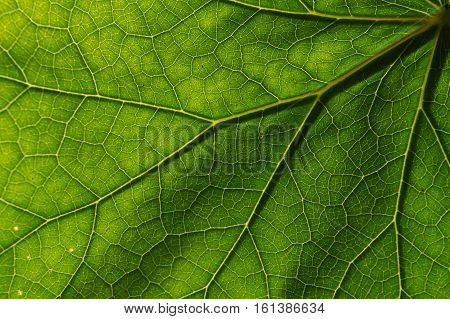 Detail of the texture and pattern of a fig leaf plant, the veins form similar structure to an inverted green tree