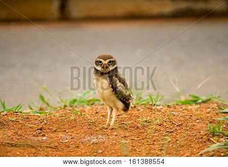 Baby Brazilian Burrowing Owl Standing Alone Near his Burrow