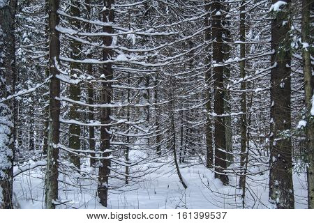 Winter forest landscape with snow on the trees.