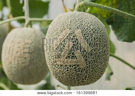 Cantaloupe. Fresh melon on tree and Carved Chinese