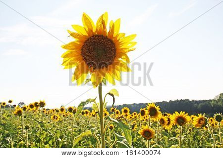 photograph of one sunflower standing taller then the rest