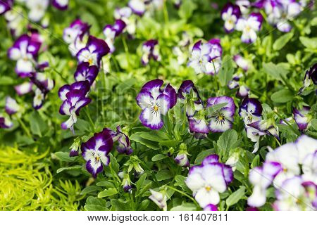 Purple And White Viola Flower In Field