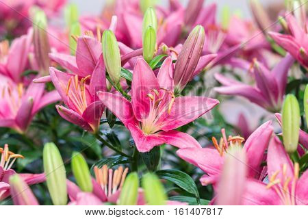 Beautiful Pink Lilly Flower In The Garden