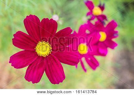 blooming red cosmos flower on cosmos flower garden blur background.