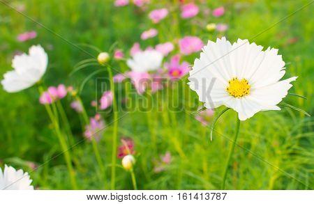 blooming white cosmos flower on cosmos flower garden blur background.