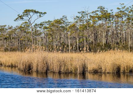 Brown reeds in swamp in the winter bird migration season at Mackay Island National Wildlife Refuge located on Knotts Island in North Carolina.