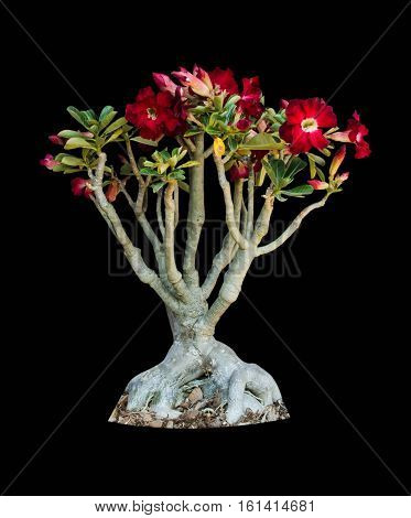 azalea flowers isolated on white background with clipping path
