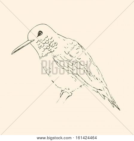 Hummingbird isolated on creamy beige background. Bird sketch. Vector drawing of colibri for greeting cards invitations prints web projects. Hand drawn illustration.