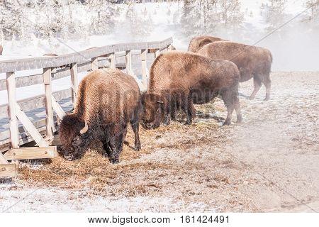 American Bison (Bison bison) grazing in Midway Geyser Basin in Yellowstone National Park