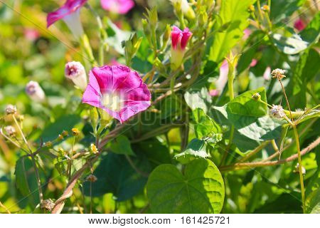 Pink morning glory flowers in the garden