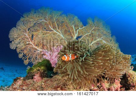 Beautiful coral reef with clownfish in clear blue sea