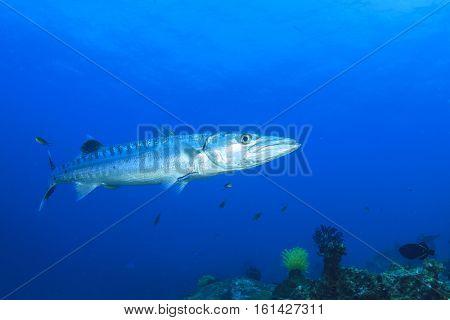 Great Barracuda fish