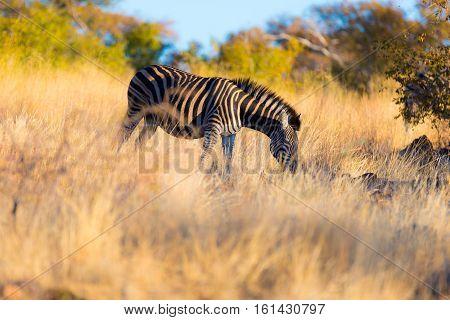 Zebra Grazing In The Bush At Sunset. Wildlife Safari In The Scenic Marakele National Park, Travel De
