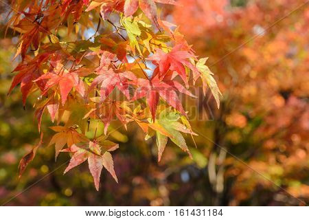 Autumn colored leaves of maple tree in Japan