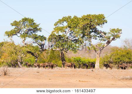 Herd Of Blue Wildebeest Grazing In The Bush. Wildlife Safari In The Etosha National Park, Famous Tra