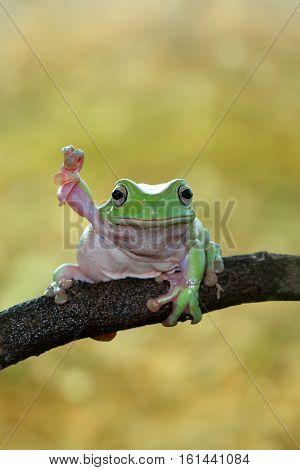 Dumpy frog, tree frog heand up on branch