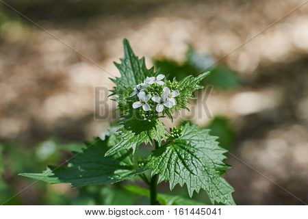 Blooming nettle bush with white flowers in the sunlight