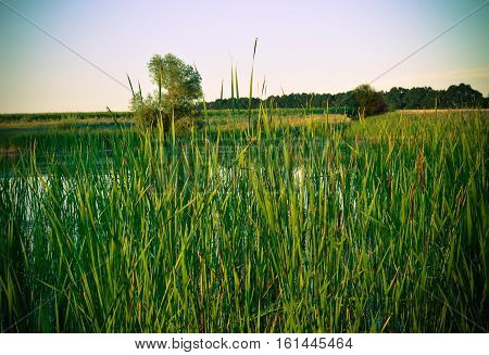 Scenic Background with reed and lake in summer