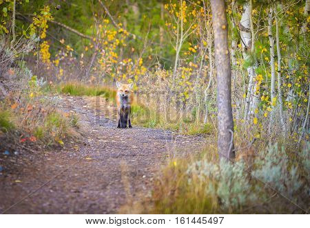 Wild red fox in the forest, Grand Teton National Park