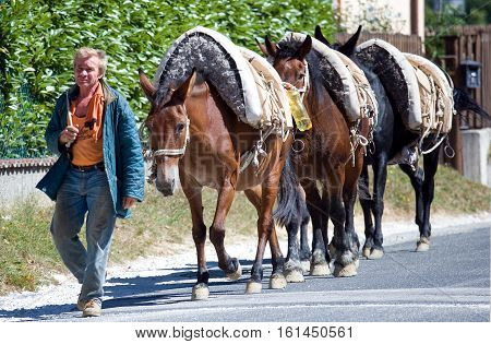 Campotosto Italy - September 6 2006: Gran Sasso National Park a farmer with three mules returning from work