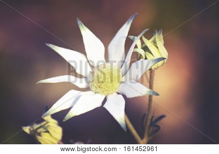 Twirling white petals of the Australian Flannel Flowers (Actinotus helianthi) in soft light, Sydney, Australia