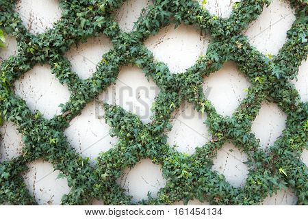 Abstract plant wall background The Green creeper plan on grunge old house wall
