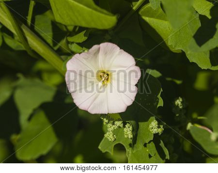 Field Bindweed Convolvulus Arvensis pink flower close-up selective focus shallow DOF