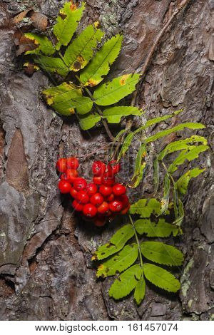 Mountain ash Rowan Sorbus tree ripe berries and leaves against pine bark close-up selective focus shallow DOF